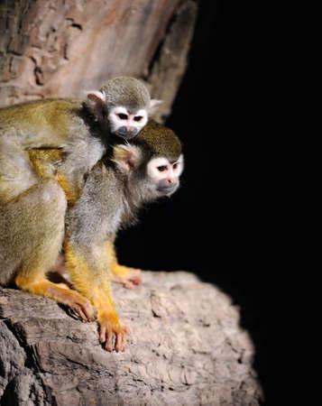 sciureus: Close-up of a Common Squirrel Monkey on branch