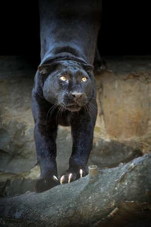 black leopard: Portrait of Black leopard on dark background