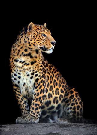 furry animals: Close-up retrato de leopardo sobre fondo oscuro
