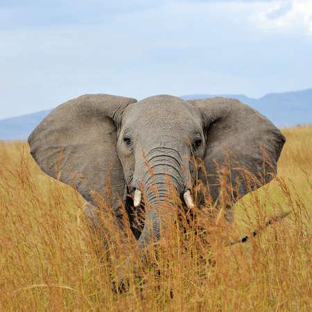 Elephant in National park of Kenya, Africa Stock Photo