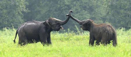 Elephants in National Park of Sri Lanka