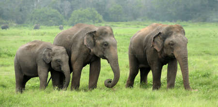 srilanka: Elephants in National Park, Sri-Lanka Stock Photo