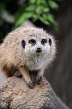 face guard: Close meerkat on branch in nature Stock Photo