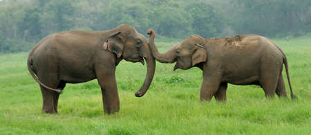 a young family: Elephants in National Park of Sri Lanka