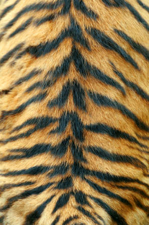 tiger skin: Close-up texture of real tiger skin