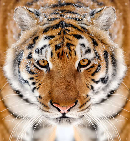 tiger eyes: Beautiful wild siberian tiger portrait on snow