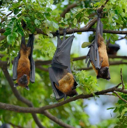 genitali: Nero-volpi volanti (Pteropus Aletto) appeso in un albero