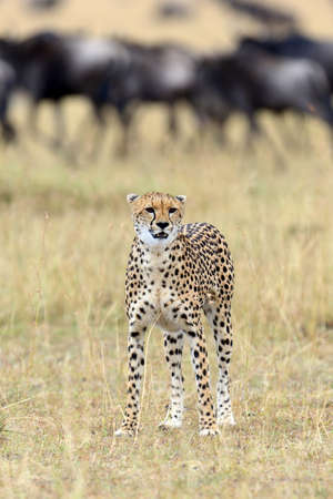 mammal: Wild african cheetah, beautiful mammal animal. Africa, Kenya