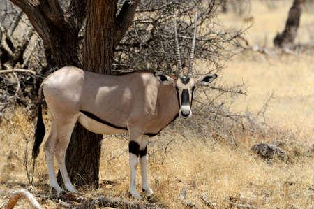 south africa soil: Gemsbok antelope (Oryx gazella) in national Park of Kenya, Africa