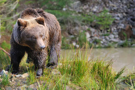 ourson: Big brown bear (Ursus arctos) in the forest Banque d'images