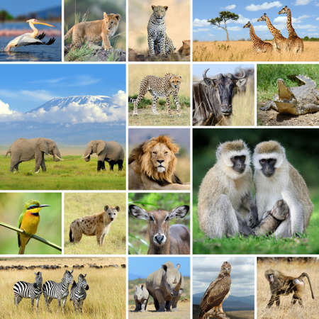 African wild animals safari collage with many photos Stock Photo