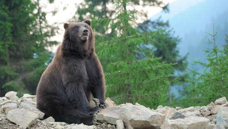wild brown bear: Big brown bear (Ursus arctos) in the forest Stock Photo