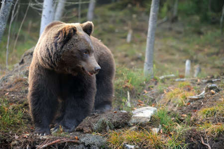 grizzly bear: Big brown bear (Ursus arctos) in the forest Stock Photo