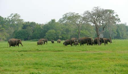 large family: Elephants in National Park of Sri Lanka