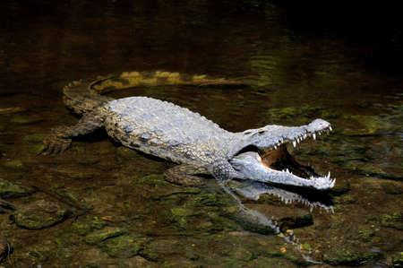cocodrilo: gran cocodrilo de cerca en el agua. Kenia, Afrca Foto de archivo