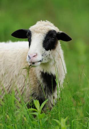 flock of sheep: Flock sheep in summer field on a farm