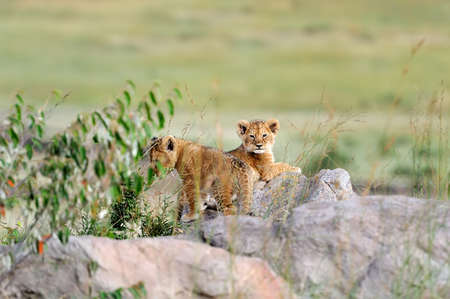 lion cub: African lion cub in National park of Kenya, Africa