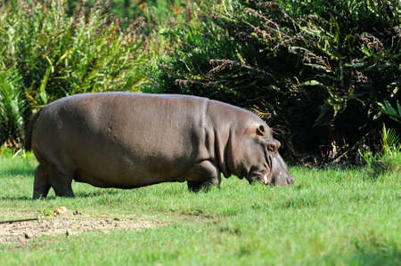 amphibius: Hippo family (Hippopotamus amphibius) outside the water, Africa Stock Photo