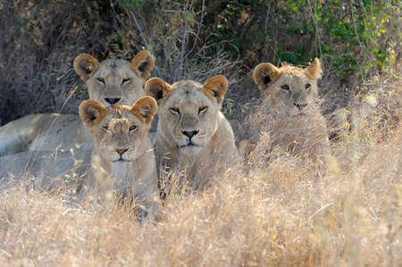 adult kenya: Close lion in National park of Kenya, Africa Stock Photo