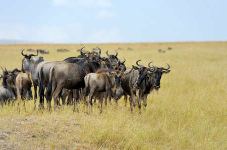 game reserve: Wildebeest in National park of Kenya, Africa Stock Photo
