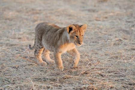 Lionceau africaine dans le parc national du Kenya, de l'Afrique