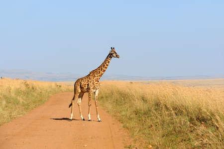 animal head giraffe: Giraffe in National park of Kenya, Africa