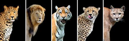 Five big wild cats (leopard, tiger, lion, cheetah, puma)