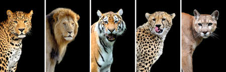 dangerous lion: Five big wild cats (leopard, tiger, lion, cheetah, puma)