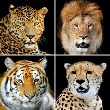 Vier grote wilde katten (luipaard, tijger, leeuw, cheetah)