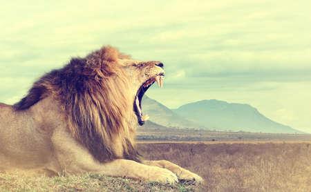 Дикий африканский лев. Урожай эффект. Национальный парк Кении, Африка Фото со стока