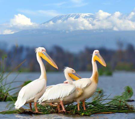 great white pelican: Great white pelican on Kilimanjaro mount bakckground. Kenya, Africa