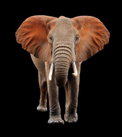 Big red elephant on black background Banque d'images