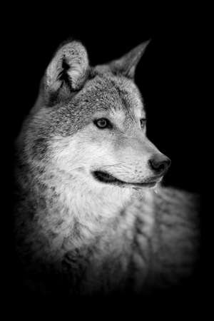 brown and black dog face: Wolf on dark background. Black and white image