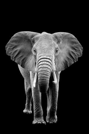 Elephant on dark background. Black and white image