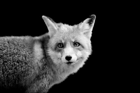 fox animal: Fox on dark background. Black and white image