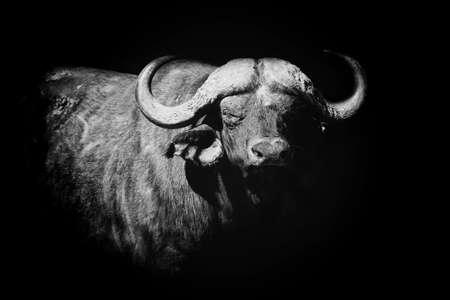 Buffalo on dark background. Black and white image