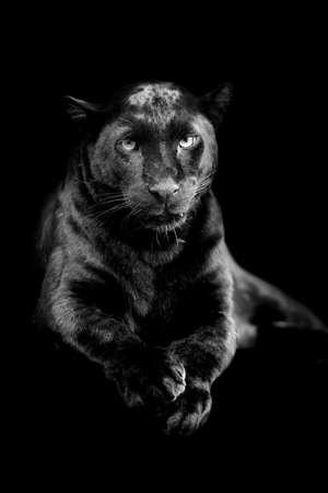 jaguar: leopardo negro sobre fondo oscuro. imagen en blanco y negro