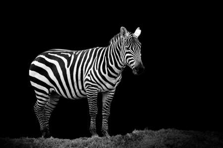 burchell: Zebra on dark background. Black and white image