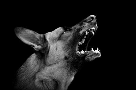 Angry dog on dark background. Black and white image 스톡 콘텐츠