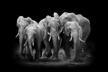 skin art: Elephant on dark background. Black and white image