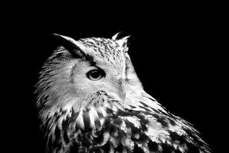 Owl on dark background. Black and white image
