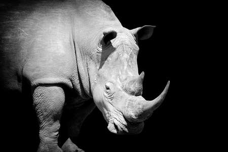 어두운 배경에 아프리카 화이트 rhino입니다. 흑백 이미지