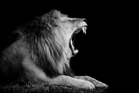 Lion on dark background black and white image stock photo