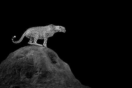 어두운 배경에 치타입니다. 흑백 이미지 스톡 콘텐츠