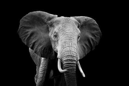 Elephant on dark background. Black and white image