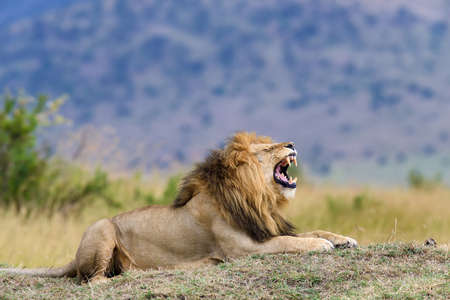 dangerous lion: Close lion in National park of Kenya, Africa Stock Photo
