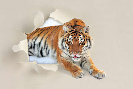 torn edge: Tiger looking through a hole torn sheet of the paper Stock Photo