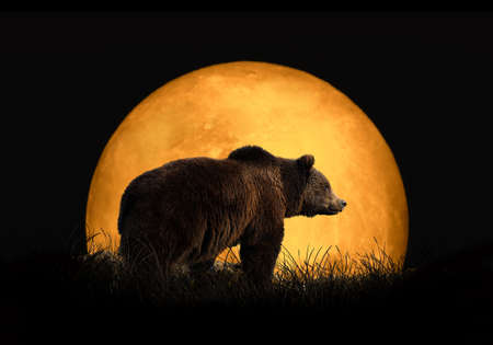 Bear on the background of red moon. Large moon on a dark background