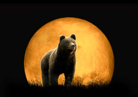 male killer: Bear on the background of red moon. Large moon on a dark background
