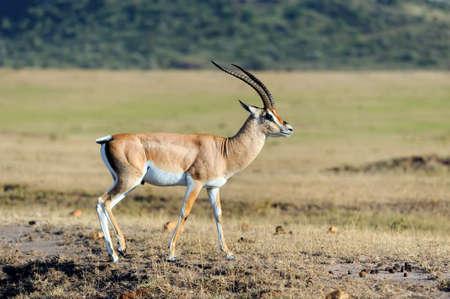 gazelle: Thomsons gazelle on savanna in Africa, Kenya Stock Photo